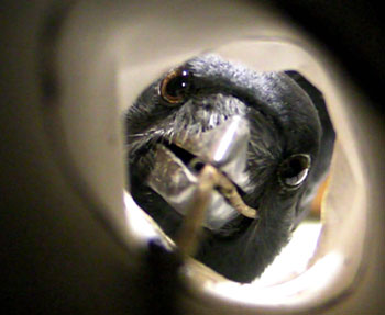 This shot of an NC crow probing into a tube shows how their eyes can swivel forward. This photo also won in it's category at the BBSRC's photo competition