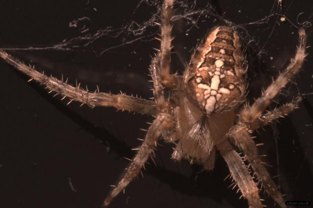Garden spider Araneus diadematus ultraviolet