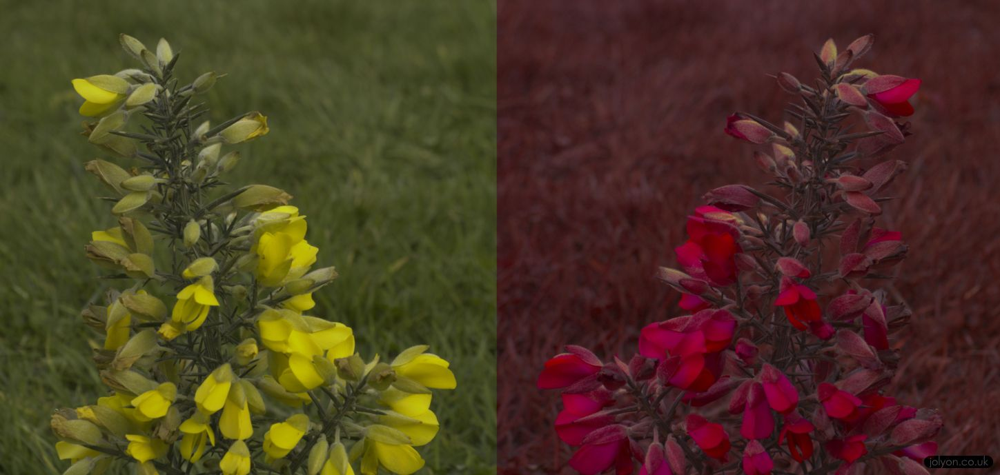 Gorse in human-vision (left) and honeybee vision (right).