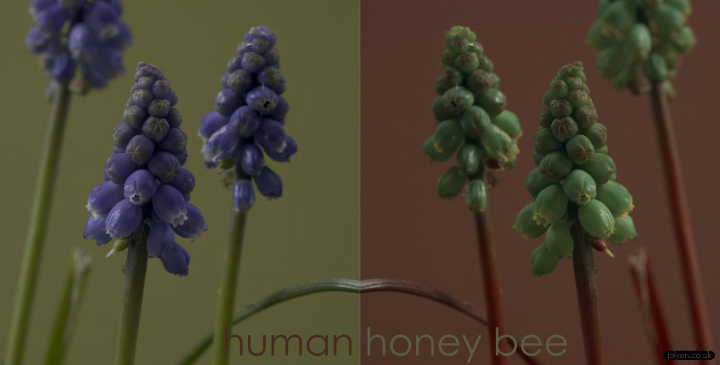 Grape Hyacinth in human-vision (left) and honeybee vision (right).