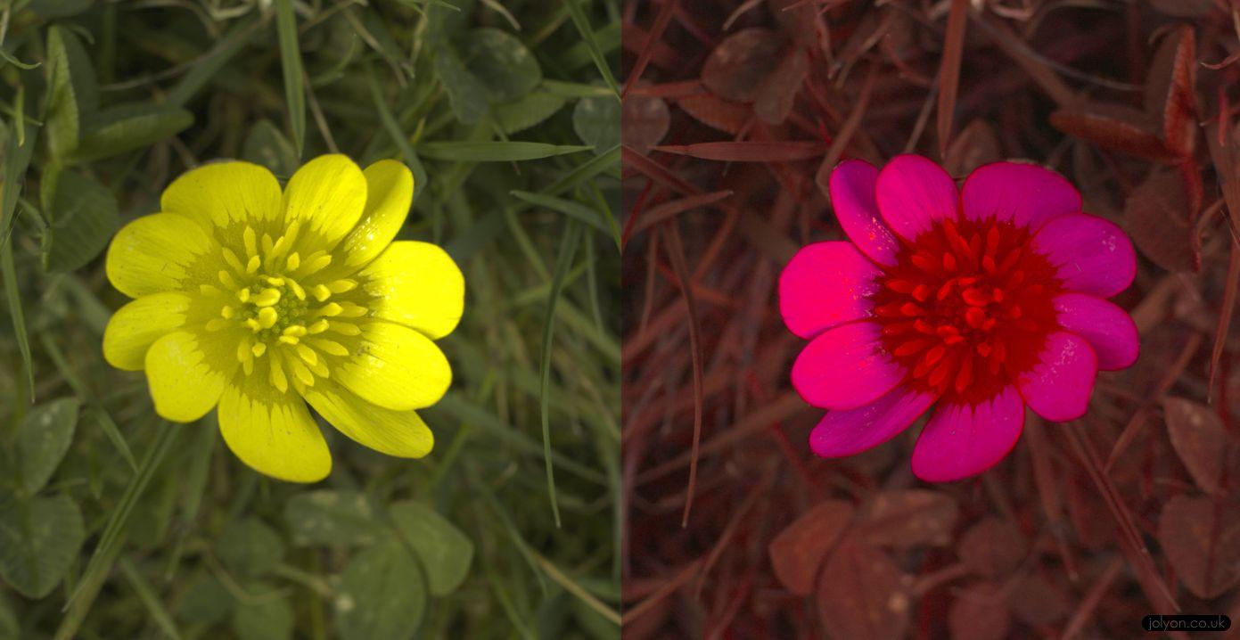 Lesser Celandine in human-vision (left) and honeybee vision