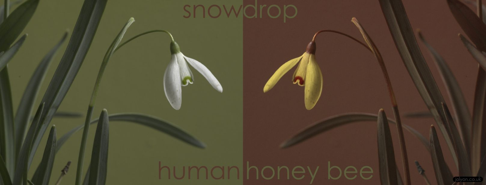 snowdrop uv bee vision