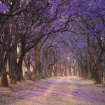 Jacaranda Avenue Bruce-Miller