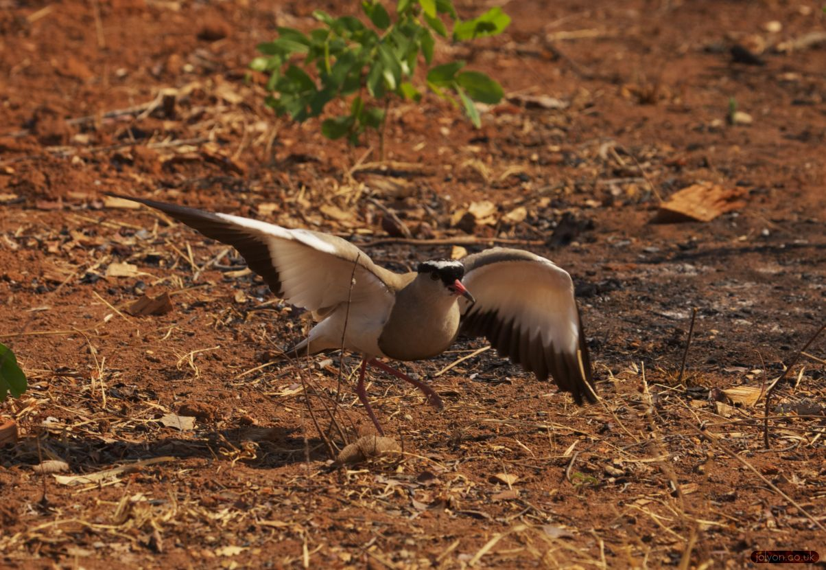 Crowned plover broken wing