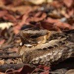 Fiery-neck Nightjar closeup