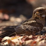 Fiery-neck Nightjar sitting up