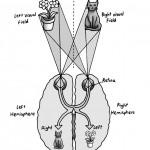 Cross-over Wiring of Human Brain