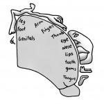 The Somatosensory Body Map