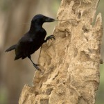 New Caledonian Crow tool use