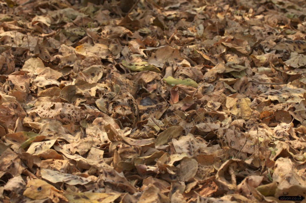 Fiery-neck Nightjar in Leaves