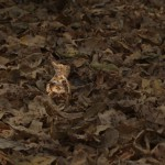 Nightjar in Leaves highlighted