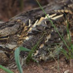 Mozambique Nightjar