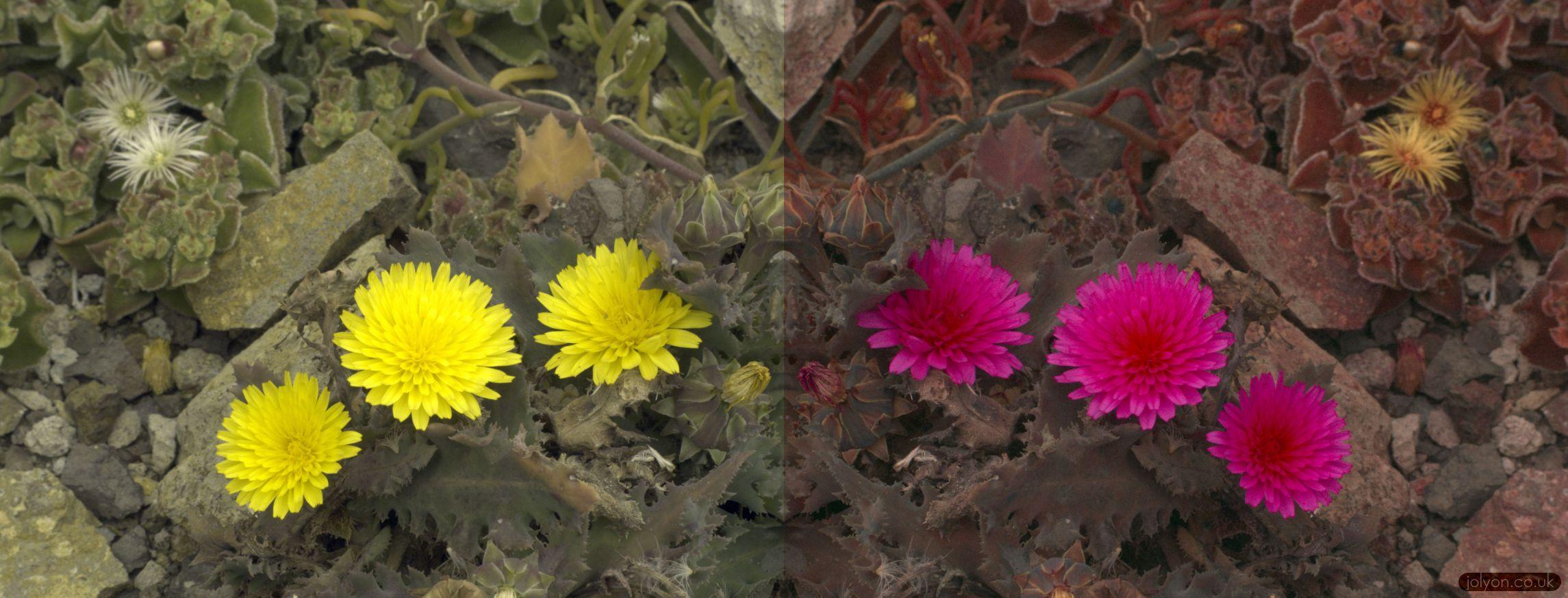 Tenerife Wild Flowers In Uv Bee Vision Jolyons Website