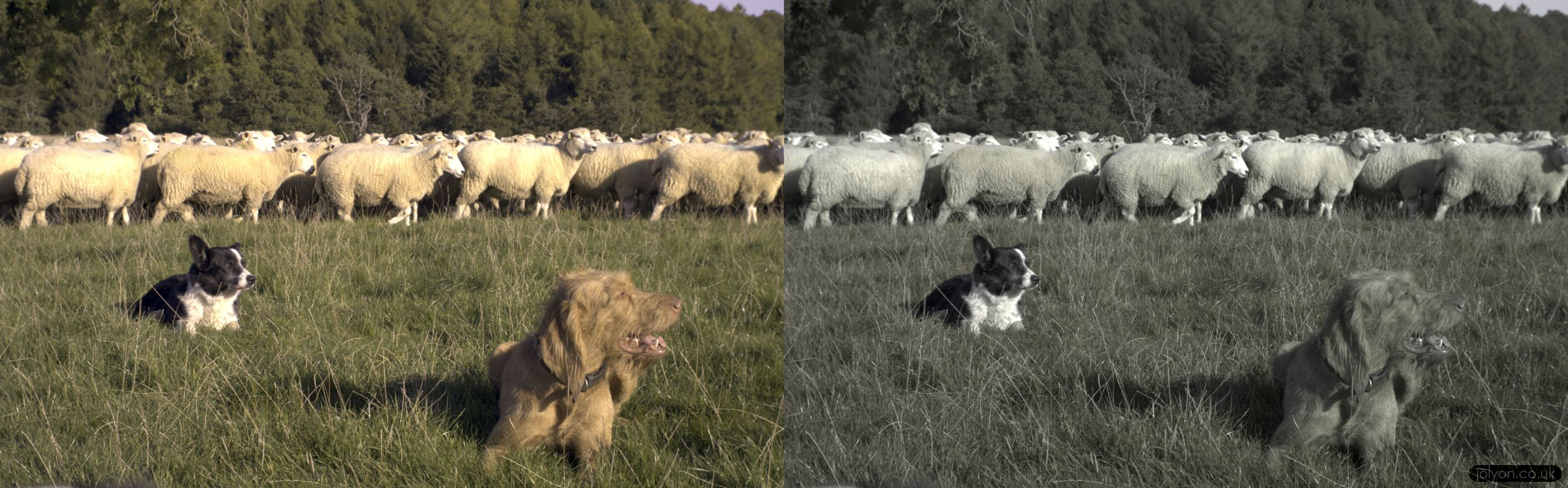 On the left is how we humans see the sheep and sheep-dogs, while on the right is how they see each-other. It's interesting to see that the red/brown wire-haired visler blends into the grass, while the black and white collie sticks out easily.