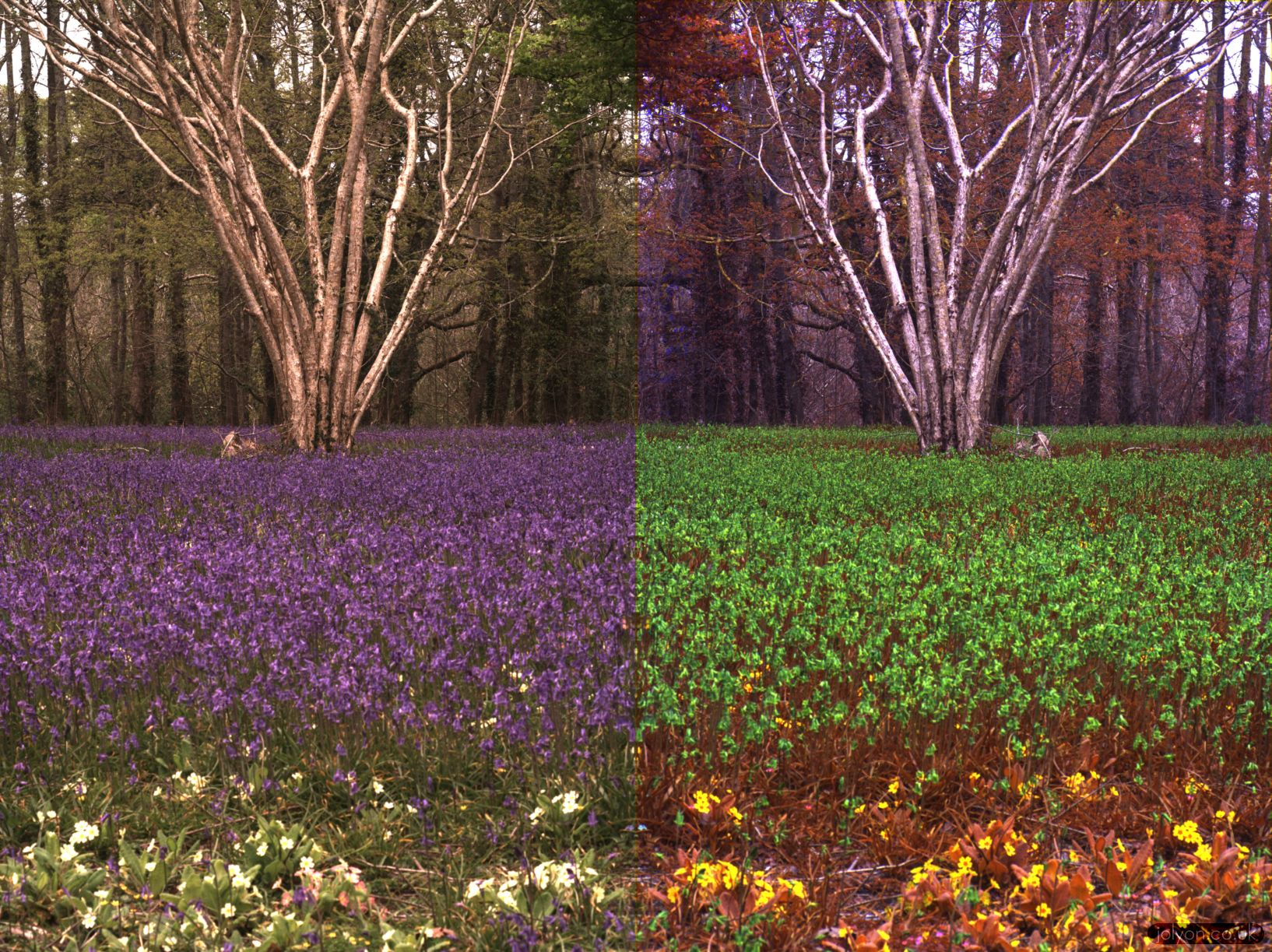 Bluebell display in human (left) and honey bee vision (right).