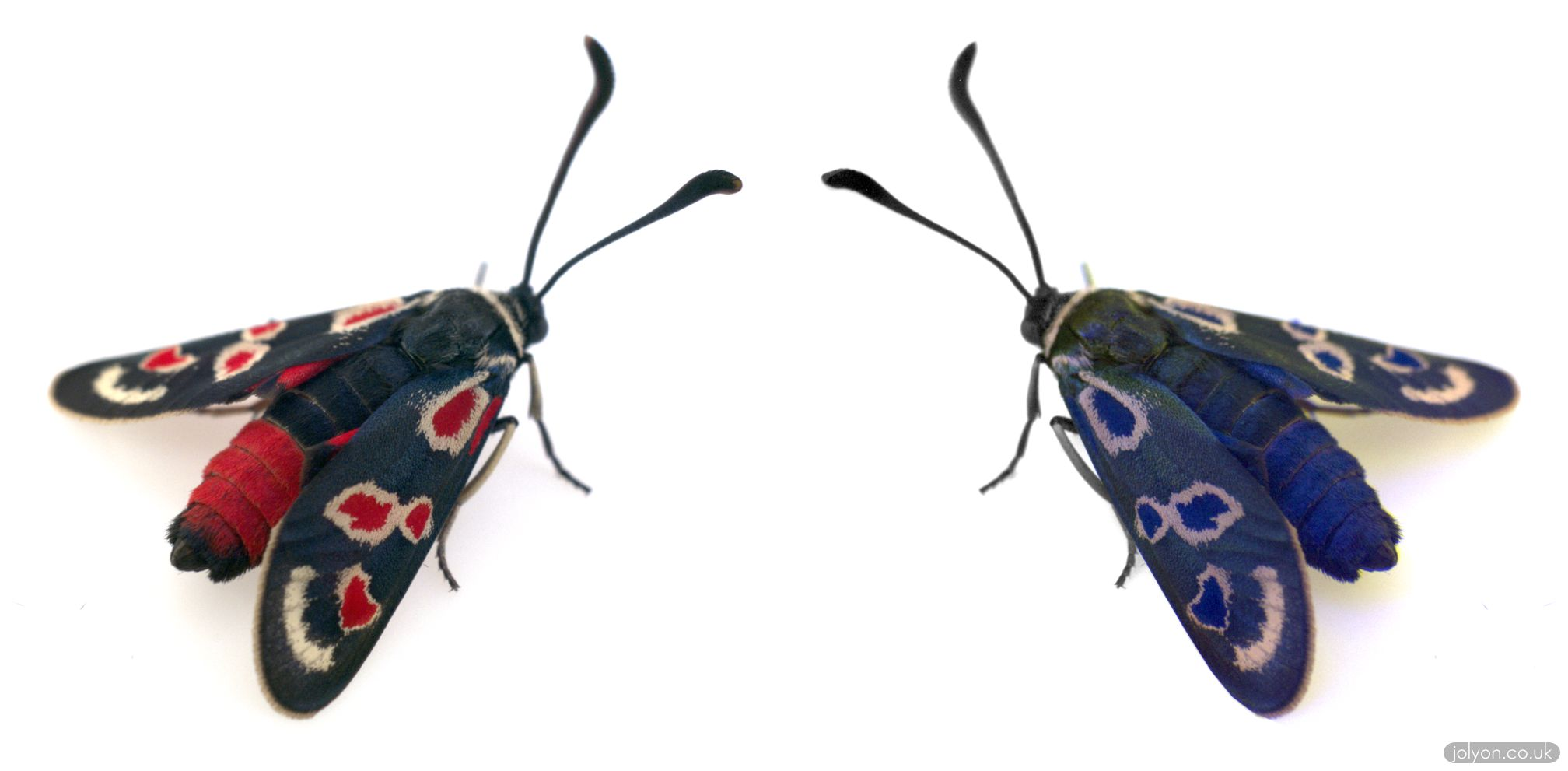 The Provence burnet moth Zygaena occitanica, in blue-tit vision. On the left is bluetit LMS (similar to human RGB), and on the right is bluetit MSU (false colour showing UV as blue).