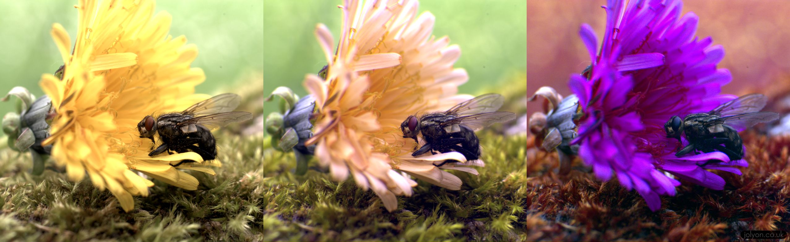 Fly sitting on a dandilion flower, shown in Human (LMS, left), Jumping Spider (middle, LWS, MWS, UV), and Fly vision (right, drosophila Rh6, Rh5, Rh3).