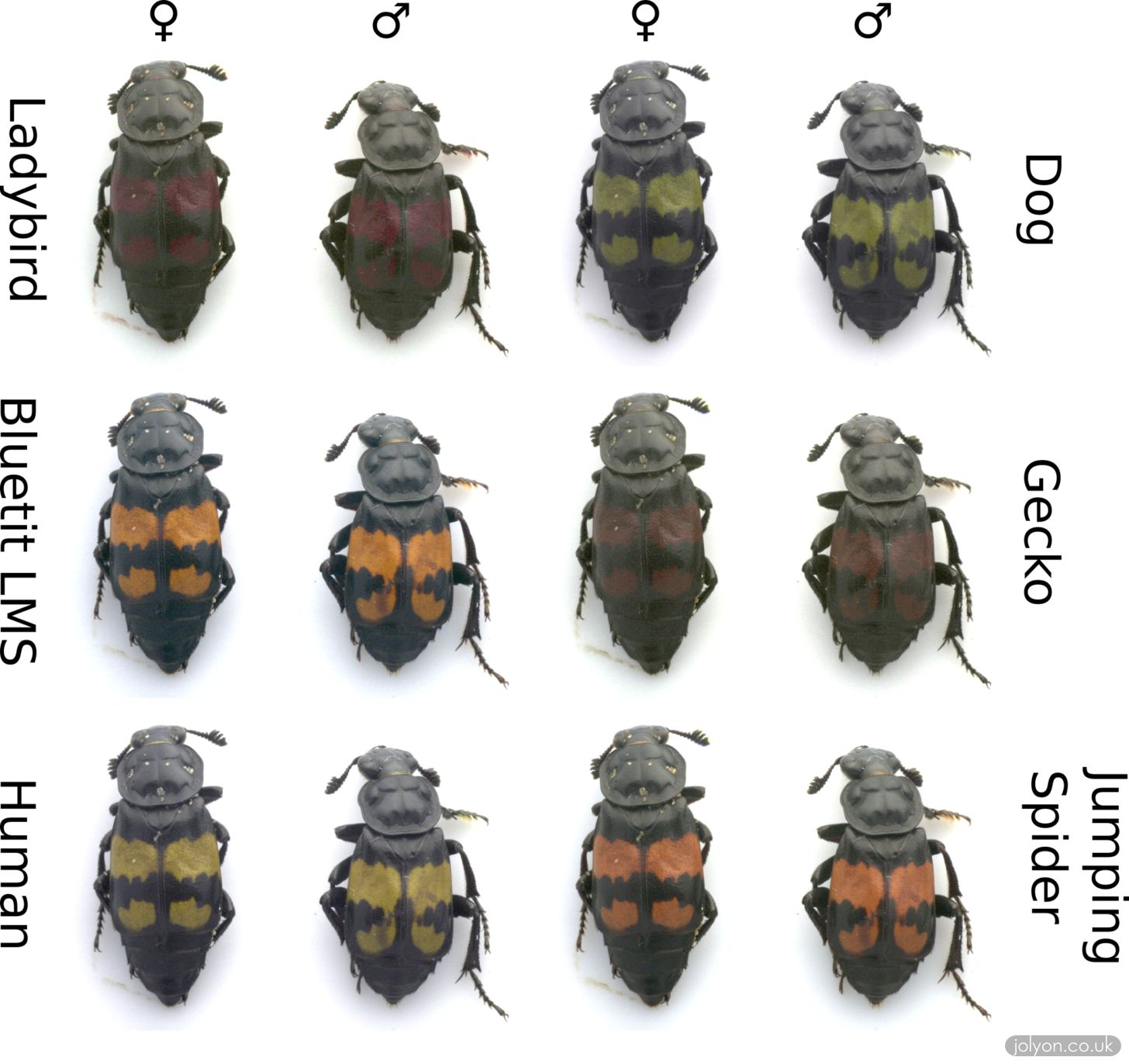 Burying beetles shown in the false colours of various visual systems