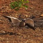 Crowned plover broken wing