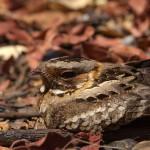 Fiery-neck Nightjar closeup