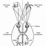 Split Brain Experiment with Chicken