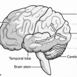 Dorsal & ventral streams