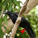 New Caledonian Crow tool use