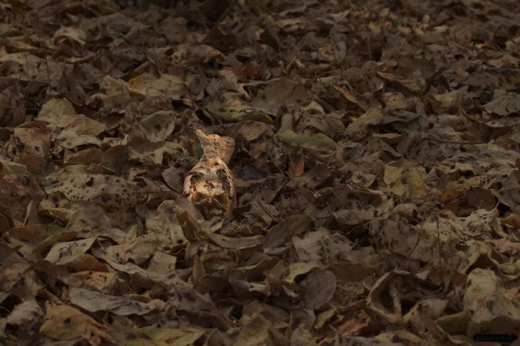 Nightjar in Leaves highlighted